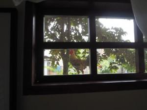 Notre voisin le coq, perché sur la fenêtre de notre chambre !