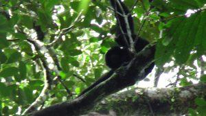 Le gibbon noir, très difficile à apercevoir !